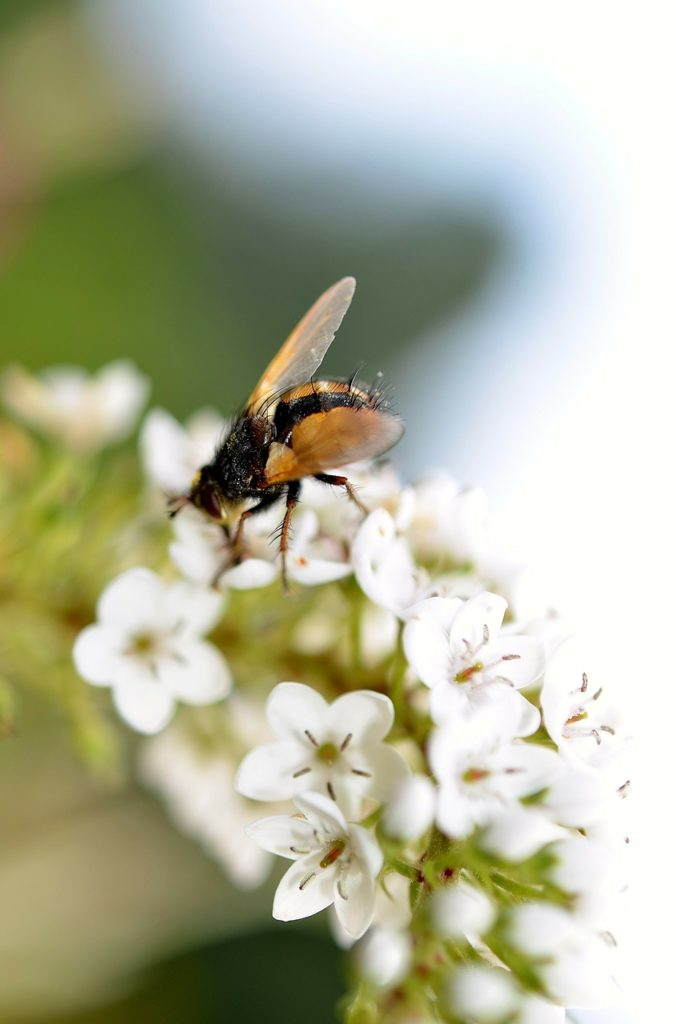 hover fly, insect, close