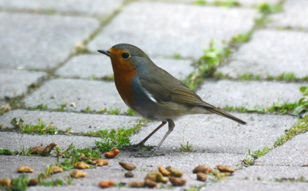 robin, birds, nature